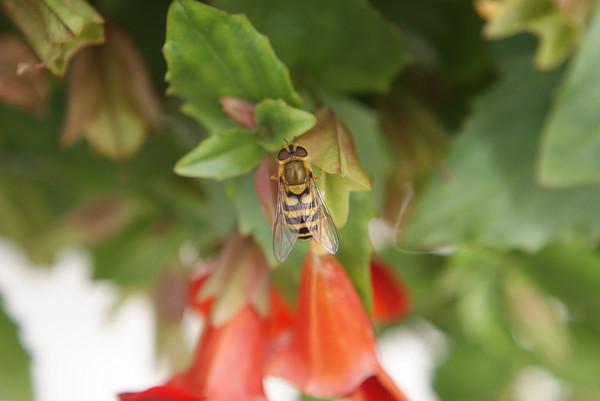 bee macro on flower